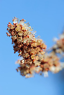 Silver Maple tree (Acer saccharinum) buds in bloom