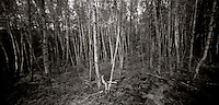 PL07714-00...MICHIGAN - Pinhole image of a birch forest in Isle Royale National Park.
