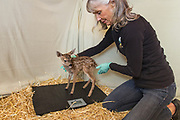 Black-tailed Deer<br /> Odocoileus hemionus<br /> Diane Nicholas, President of Kindred Spirits Fawn Rescue, weighing newly arrived three-day-old orphaned fawns<br /> Kindred Spirits Fawn Rescue, Loomis, California