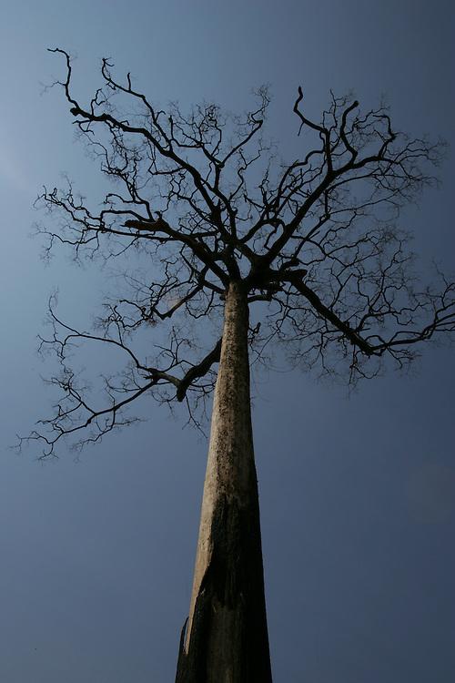 11/08/05,  Burned Castanheira (Brasilian Nut tree) on the road to Claudia, Mato Grosso State, Brazil.
