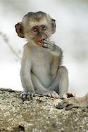 Green vervet monkey, Chlorocebus pygerythrus, Tarangire NP, Tanzania