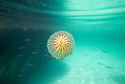 © Licensed to London News Pictures. 04/08/2018. St Austell, UK. Jellyfish are seen off the coast path near Gorran Haven, Cornwall during hot weather. Photo credit : Tom Nicholson/LNP