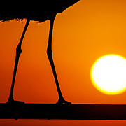 (02/19/2008) The sinewy yet powerful legs of a Great Blue Heron tightly grip the rail along Merry Pier at Pass-A-Grille Beach during the Tuesday night sunset. (Willie J. Allen Jr. | Times)