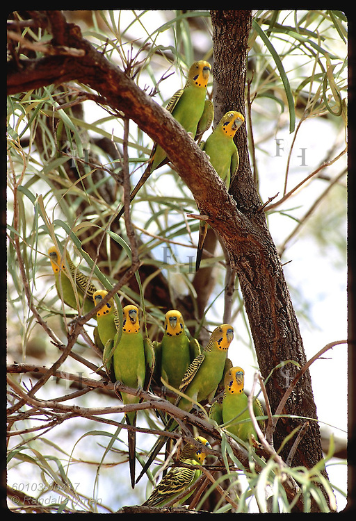 Nine budgerigar birds perch together in branches of tree in Tanami Desert. Australia