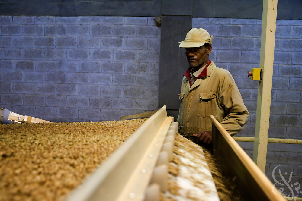 An Ethiopian worker monitors the processing of export quality green coffee beans at the Keffa Export Coffee Processing Plant February 21, 2007 in Addis Ababa, Ethiopia.  Ethiopia exports more than 120,000 metric tons of green coffee beans per year, and one in four Ethiopians is employed within the coffee business.