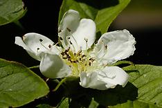 Rosaceae, Rozenfamilie