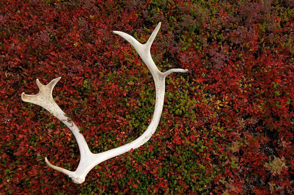Reindeer antler, Rangifer tarandus, Laponia World Heritage area, Lapland, Sweden