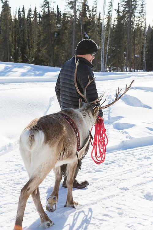 Kenji Yoshikawa and one of his reindeers at his farm outside Fairbanks, Alaska, USA.