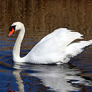 Mute Swan Swimming