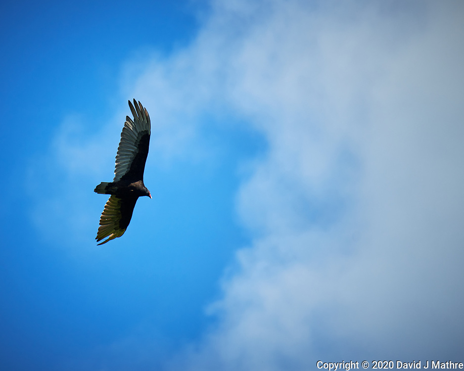 Turkey Vulture. Image taken with a Nikon D5 camera and 600 mm f/4 VR telephoto lens (ISO 72, 300 mm, f/5.6, 1/640 sec).