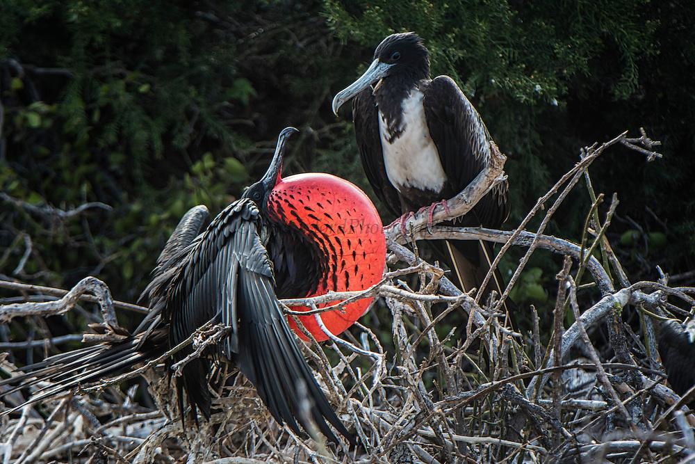 Magnificent Frigatebird (Fregata magnificens) <br /> North Seymour Island<br /> Galapagos<br /> Ecuador, South America
