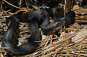 Black Pine Snake (Pituophis melanoleucus lodingi) CAPTIVE<br /> Southern USA<br /> Habitat & Range: Open longleaf pine & oak forests with loose sandy soil.  Originally native throughout Mississippi, Louisiana and Alabama.<br /> ENDANGERED SPECIES