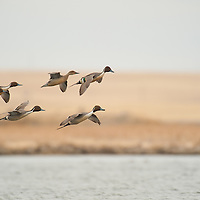 northern pintail courtship flight, landing on water, wetland background