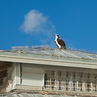 Osprey (Pandion haliaetus) perched on roof top.