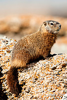 The Rock Chuck or Yellow Bellied Marmot lives in the Rocky Mountains in western United States.