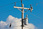 Bird on the wire. Cormorant,  power and telephone cables on telegraph pole, Everglades, Florida