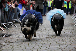 London 06/04/2014<br /> Pigs representing Oxford and Cambridge race during the Spitalfields City Farm Goat Race that coincides with the Oxford and Cambridge Boat Race. Oxford (dark blue) won.<br /> Photo: Anna Branthwaite/LNP