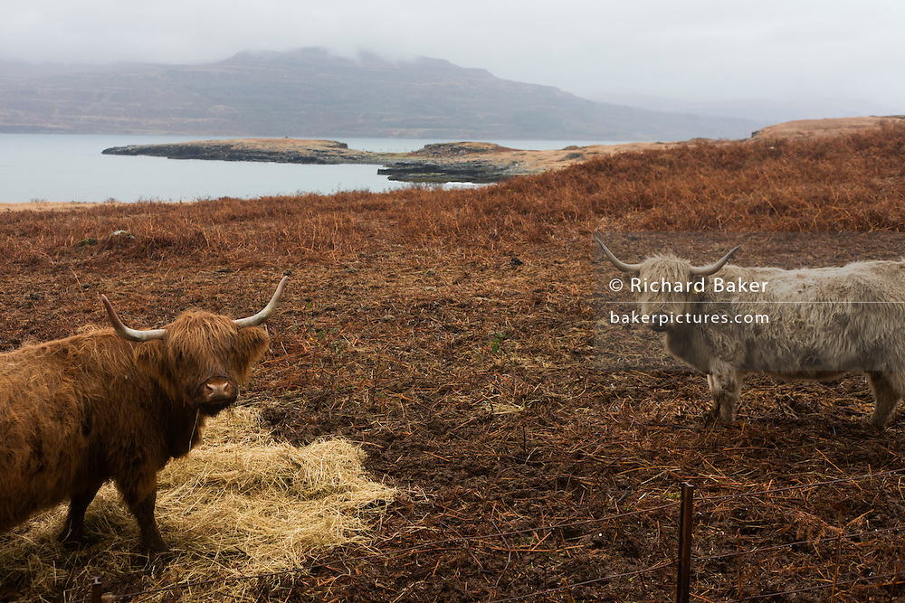 Longhorn cattle graze on moorland near Killunaig, Pennyghael, Isle of Mull, Scotland.