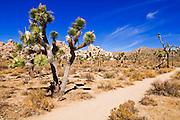 Joshua trees along the trail to the Wall Street Mill, Joshua Tree National Park, California