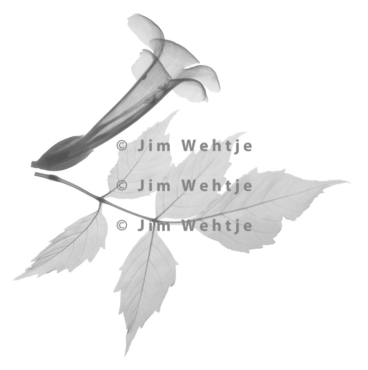 X-ray image of a trumpet vine leaf and flower (Campsis radicans, black on white) by Jim Wehtje, specialist in x-ray art and design images.
