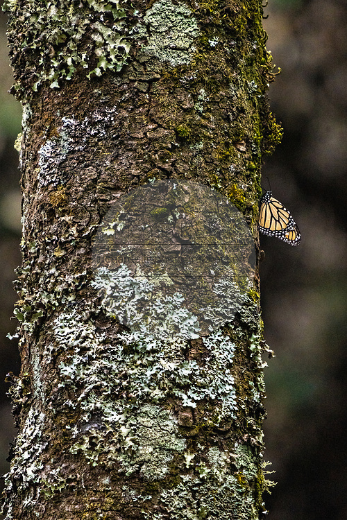 A lone monarch butterfly rests on the trunk of an Oyamel Fir tree in their over-winter site in the Cerro Pelon Monarch Butterfly Preserve near Macheros, Michoacan, Mexico. The monarch butterfly migration is a phenomenon across North America, where the butterflies migrates each autumn to overwintering sites in Central Mexico.