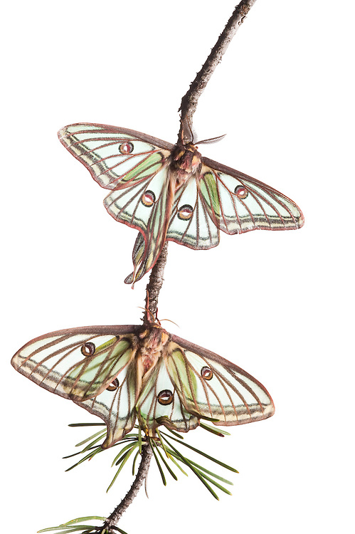 Male and female Isabelline moths, Spanish luna moth, Graellsia isabellina,  Queyras, France, Europe