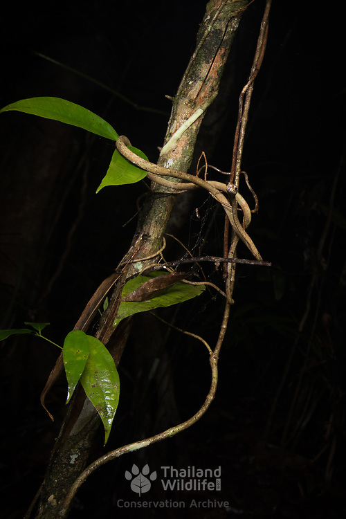 Blunt-headed Slug-eating Snake (Aplopeltura boa) in Krabi, Thailand