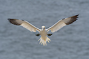 Northern Gannet - Morus bassanus with its wings flat out coming in for a landing