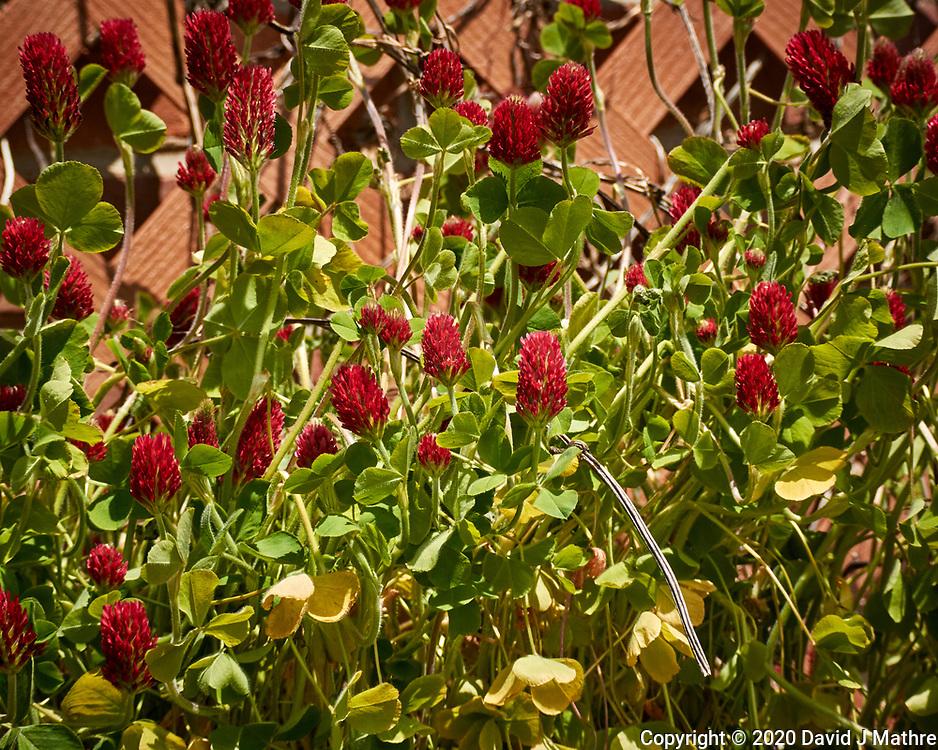 Crimson Clover Flowers. Image taken with a Nikon N1V3 camera and 70-300 mm VR lens.