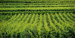 Vineyards near the village of Balbronn in Alsace, France<br /> <br /> (c) Andrew Wilson | Edinburgh Elite media