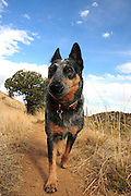 A Blue Heeler hikes the Arizona Trail in the Santa Rita Mountains in the Coronado National Forest in the Sonoran Desert north of Sonoita, Arizona, USA.