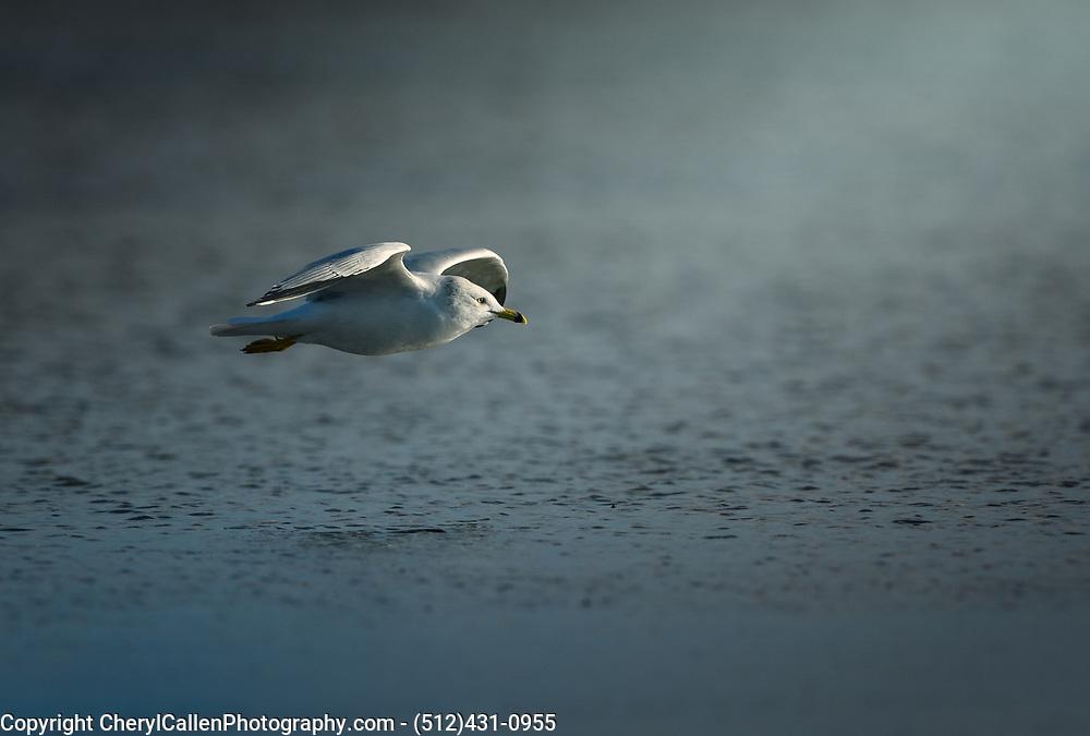 Ringed-billed Gull in flight towards nice light