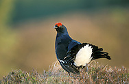 Black Grouse Tetrao tetrix L 40-45cm. Bulky moorland gamebird. Males display at traditional leks to interest nearby females. Sexes are dissimilar. Adult male has mainly dark plumage with red wattle above eye. Displaying birds elevate and spread tails (which look lyre-shaped) and reveal white undertail coverts. In flight, tail looks long and forked; wings have white bars. Adult female has orange-brown plumage finely marked with dark bars. In flight wings show narrow white bar. Juvenile resembles a small female with subdued markings. Voice Displaying male utters a bubbling, cooing call. Status Scarce and declining in many areas. Does best on moorland comprising mosaic of grassland, heather moorland, bilberry stands and adjacent woodland.
