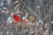 Winter photo of the male Northern Cardinal in Ohio.