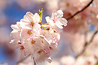 Cherry Blossoms in Salem OR
