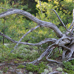 An upturned spruce trunk in Acadia National Park Maine USA