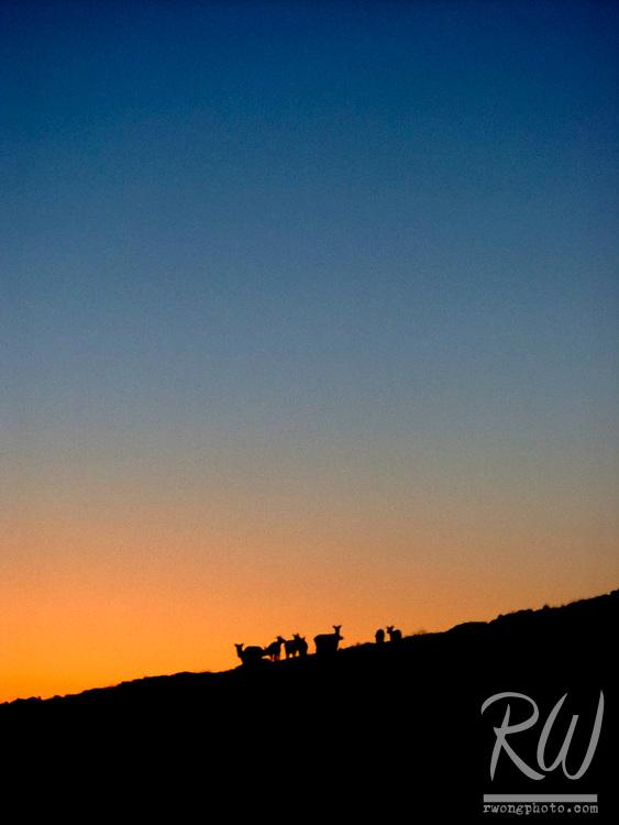 Tule Elk at Sunset, Point Reyes National Seashore, California