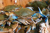 Chesapeake bay Blue crabs, Callinectis sapidus, a Maryland delicacy when steam cooked.