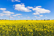 Canola crop under blue sky and cloud near Yathella, New South Wales, Australia.