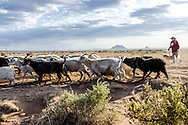 Irene Bennalley follows her sheep and goats across the desert plains near Toadlena, NM, as they head for the Chuska Mts, where they will spend the summer.