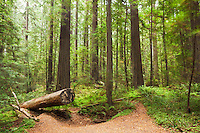 Founder's Grove Old-Growth Redwood Forest, Humboldt Redwoods State Park, California