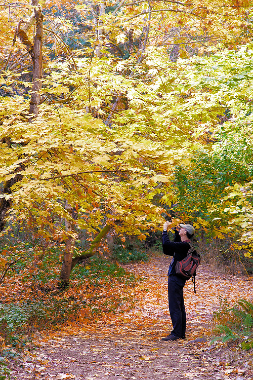 An early morning walker stops to photograph the intense fall color that illuminates Lithia Park, Ashland, Oregon.