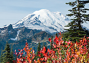 In Mount Rainier National Park, hike the Naches Peak Loop Trail for 5 miles, starting near Chinook Pass on Highway 410 between Enumclaw and Yakima, for red fall foliage color in Washington, USA. Published since 2013 on StayRainier.com and AltaCrystalResort.com web sites. Global warming and climate change: Mount Rainier's glaciers shrank 22% by area and 25% by volume between 1913 and 1994 in conjunction with rising temperatures (Nylen 2004). As of 2009, monitored glaciers are continuing to retreat (NPS). Over the last century, most glaciers have been shrinking across western North America (Moore et al. 2009) and the globe (Lemke et al. 2007) in association with increasing temperatures.