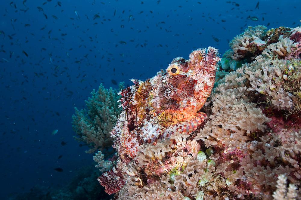 Papuan scorpionfish, Scorpaenopsis papensis, lying still on the reef, Layang layang, Spratly Islands, Sabah, Malaysia