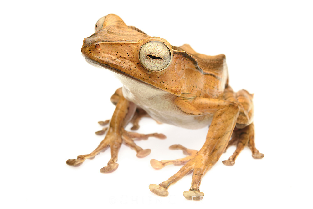 File-eared Tree Frog (Polypedates otilophus). One of the largest tree frogs in Borneo, this species is named for the sharp ridge behind its eye, the function of which is unknown. It breeds in stagnant pools in lowland rainforest
