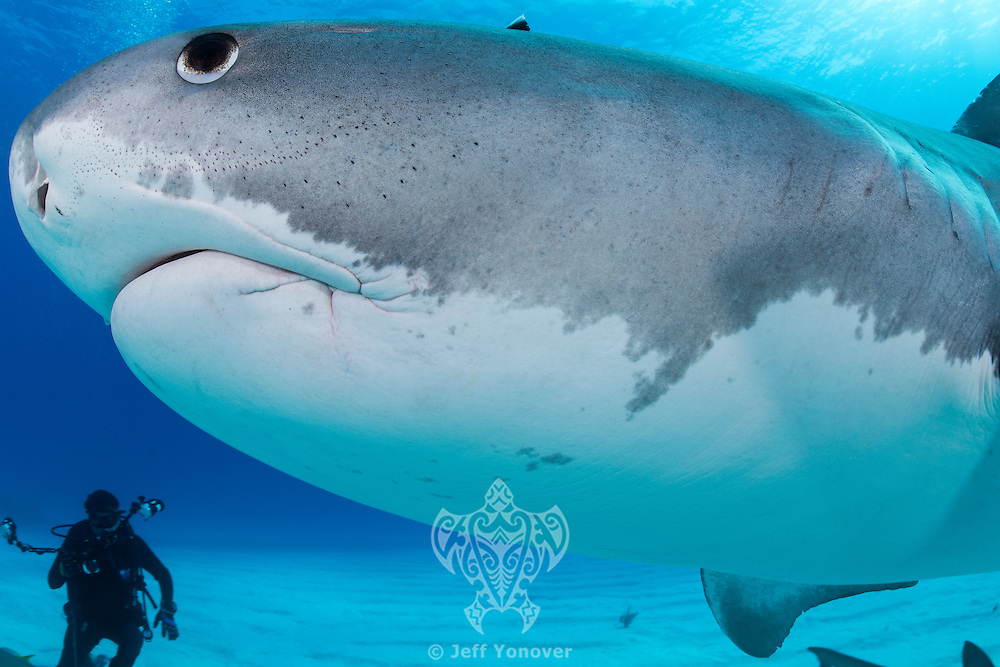 A Tiger Shark passes very close by, while a diver looks on<br /> <br /> Shot in Bahamas