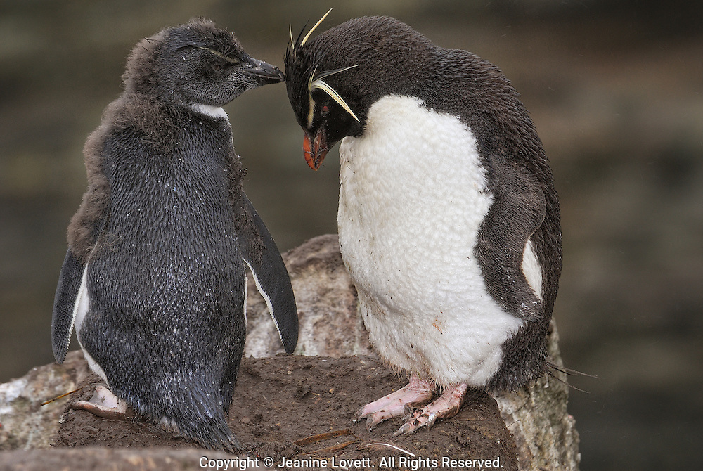 Rockhopper penguin chick with one parent.