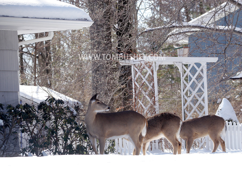 Middletown, NY - Deer feed on plants in a suburban yard after a snowstorm on Feb. 24, 2008. The netting over the plants did not deter the animals.