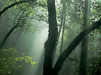 Rays of Light in Foggy Forest, Marin Municipal Water District, California