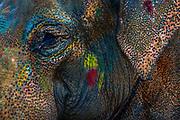 An elephant bears the legacy of days of Holi revelry.